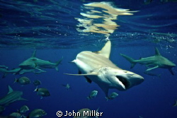 Black Tip Shark, Nikon d7000 by John Miller