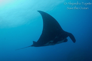 Manta Ray in the blue, Puerto Vallarta Mexico by Alejandro Topete