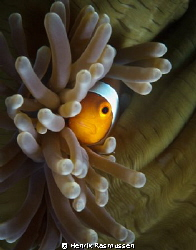Clownfish looking out from a closed anemone. Taken aroun... by Henrik Rasmussen