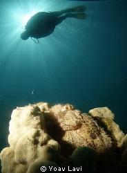 Scorpion fish and diver by Yoav Lavi