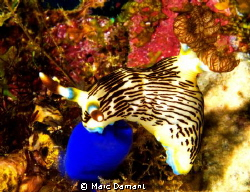 Strike a pose! This Nudibranch was perched pertfectly on ... by Marc Damant