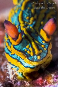 Great Nudibranch, Puerto Vallarta México by Alejandro Topete
