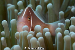 Nauticam NA_D7000v 60mm macro. Skunk Clownfish by Andrew Green