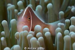 Nauticam NA_D7000v 60mm macro. Skunk Clownfish by Andrew Green