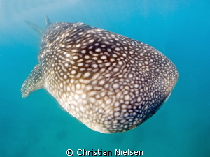 I like the pattern of the whaleshark. They came pretty cl... by Christian Nielsen