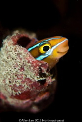 Tube-worm Blenny by Allen Lee