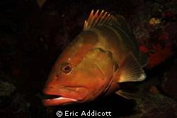 Nassau Grouper at Fish Den, Roatan, Honduras, Sony RX100. by Eric Addicott