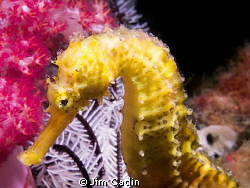 Tigertail seahorse sitting obligingly in front of beautif... by Jim Catlin