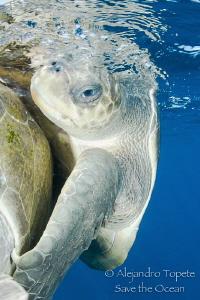 Turtle in love, Puerto Vallarta Mexico by Alejandro Topete