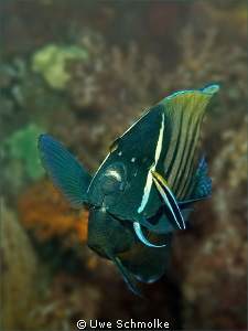 Cleaning session - This Six-banded angelfish (lat. Pomac... by Uwe Schmolke