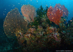 Deep reef at The Canyon, Pulau Weh. by Doug Anderson