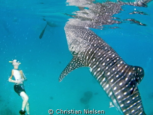 Free diving with whalesharks, not a bad day :) by Christian Nielsen
