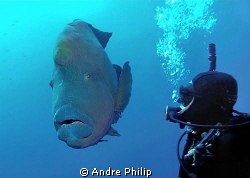 close encounter with a really giant napoleon wrasse... by Andre Philip