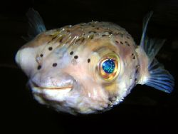 Juvenile Porcupine pufferfish. Nikon D70. by Grant Kennedy
