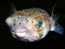 Juvenile Porcupine pufferfish. Nikon D70. by Grant Kennedy
