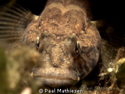 Sand goby by Paal Mathiesen