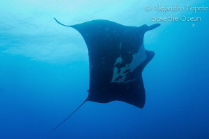 The amazing Manta Ray, Puerto Vallarta Mexico by Alejandro Topete