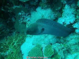 Moray eel by Helen Hansen
