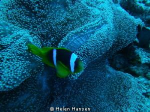 Clown Fish by Helen Hansen