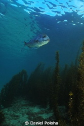 Snapper gliding above meadows of brown algae in shallows ... by Daniel Poloha