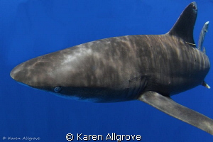 Oceanic Whitetip - bold & beautiful! by Karen Allgrove