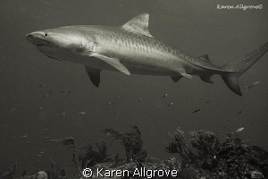 Tiger Beach Tiger Shark watching me watching her. This i... by Karen Allgrove