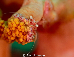 porcelain crab soft coral by Alan Johnson