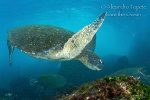 Green Turtle, Islas Galapagos Ecuador by Alejandro Topete