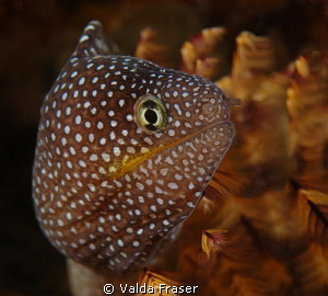Close up of a starry moray. by Valda Fraser