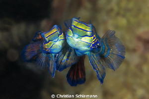 Kiss me - two Mandarinfishes in underwater love by Christian Schlamann