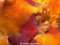 Puget Sound King Crab by Jeremy Axworthy