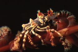 That crab usually stays on black coral... nice to find it... by Pablo Pianta