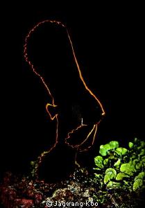 Juvenile of Pinnate Batfish     by Jagwang Koo