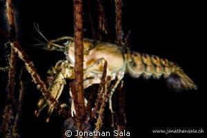 Freshwater Shrimp by Jonathan Sala