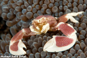 A Porcelein crab in Lembeh. by Mehmet Salih Bilal