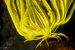 Yellow crinoid is walking. by Mehmet Salih Bilal
