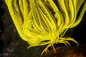 Yellow crinoid is walking. by Mehmet Salih Bilal