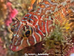 Longfin Sculpin by Jeremy Axworthy