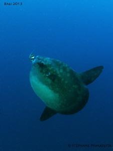 Mola mola. by Stéphane Primatesta