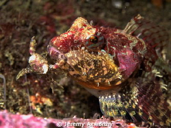 Sculpin eating crab. by Jeremy Axworthy