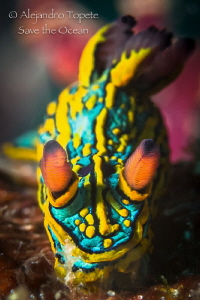 Amazing Nudibranch, Puerto Vallarta Mexico by Alejandro Topete