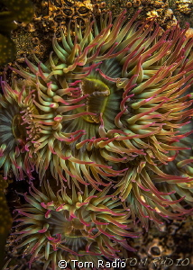 Pink-Tipped Anemone by Tom Radio