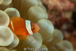juvenile anemone fish @ cape maeda, okinawa by Troy Williams