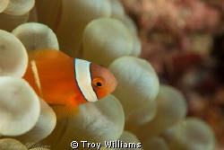 juvenile anemone fish @ cape maeda, okinawa by Troy Williams
