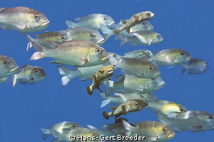 White snapper and porcupinefish Traffic Bunaken,Sulawes... by Hans-Gert Broeder