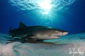 As the sun set over Tiger Beach the Lemon Sharks did not ... by Steven Anderson