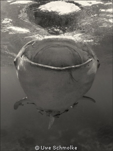 Friendly giant - This whaleshark I've found in philippin... by Uwe Schmolke