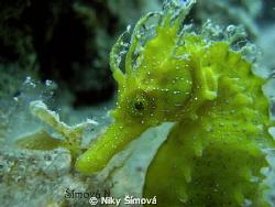 sea horse by Niky Šímová