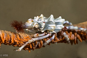 Xeno crab with hairy nose by Mehmet Salih Bilal