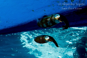 Two Squid under the Boat, Veracruz Mexico by Alejandro Topete